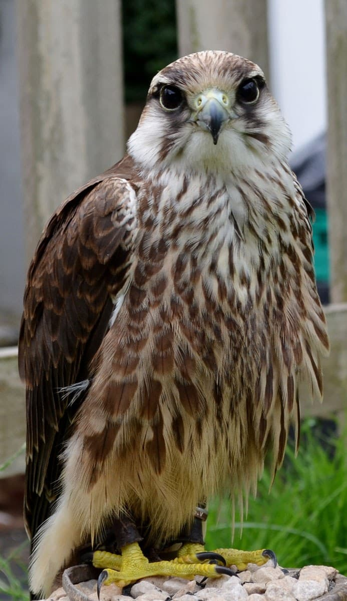 Animal M Agic Charlie Lanner falcon