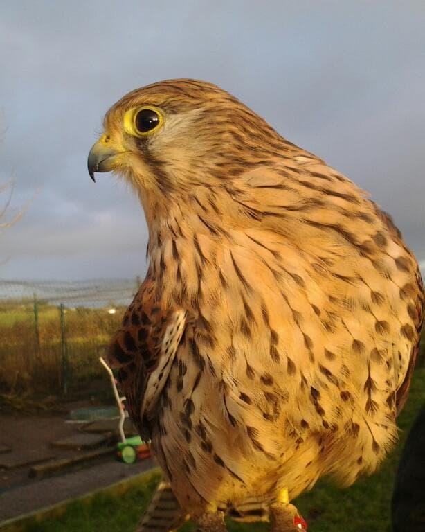 Animal Magic Falcon