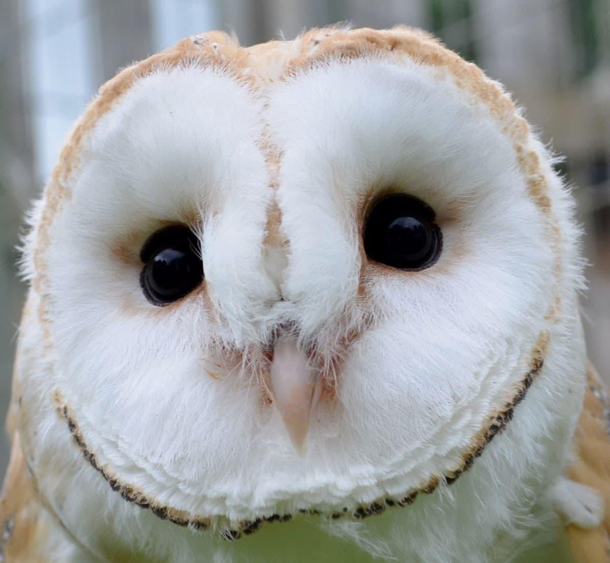 Animal Magic Oliver Barn Owl
