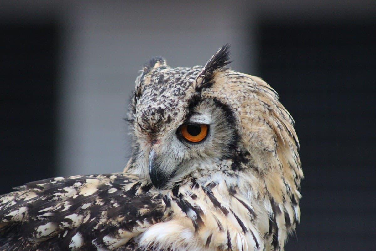 Animal Magic Owl