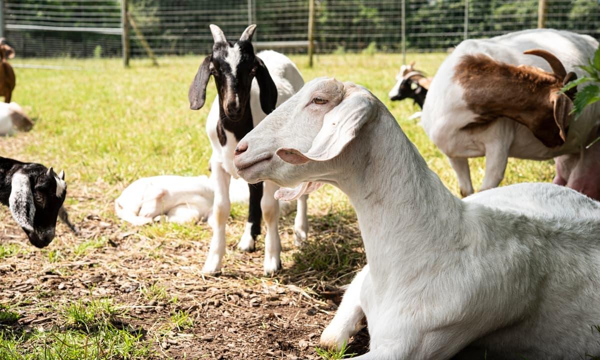 Ballinwillin House Goat Boar Farm
