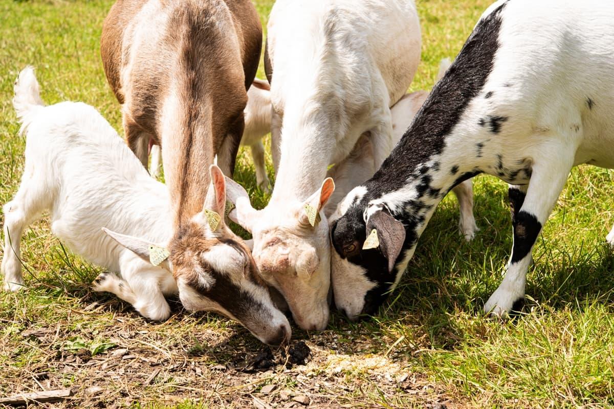 Ballinwillin House Goat Farm