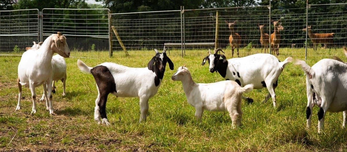 Ballinwillin House Goats