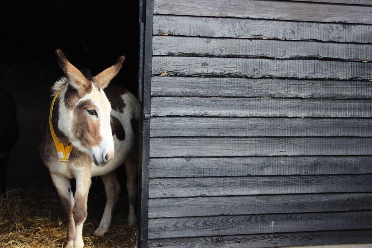 Donkey Sanctuary Mambo
