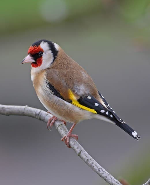 Gold Finch Bird