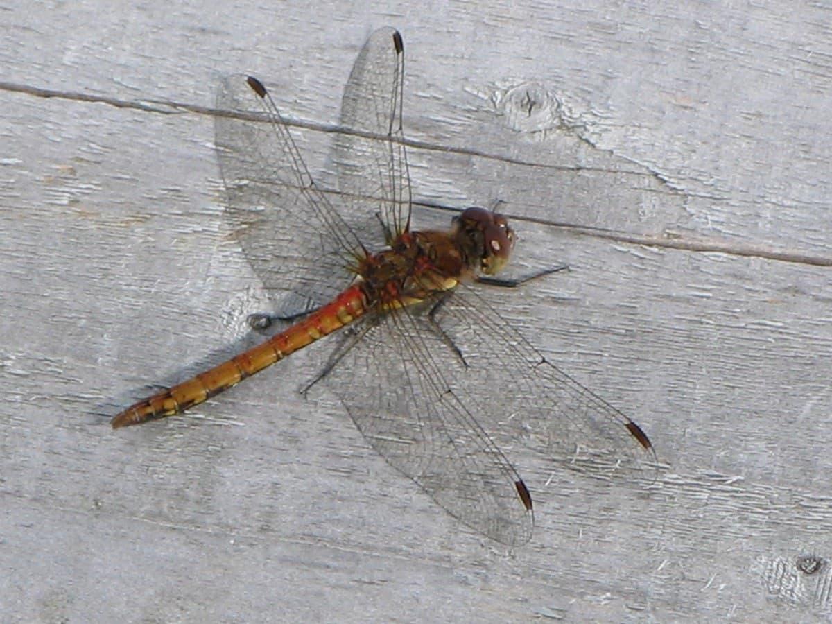 Griston bog Dragonfly