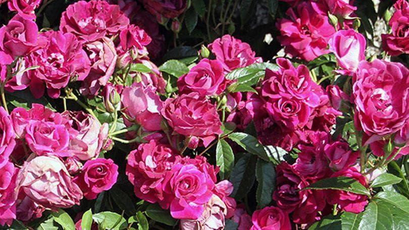 Just Roses Kilfinane banner