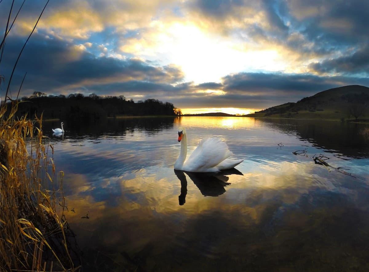 Less than ordinary Lough Gur Swans